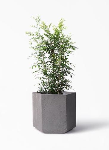 観葉植物 シルクジャスミン(げっきつ) 8号 コーテス ヘックス 灰 付き