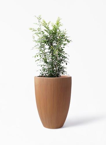 観葉植物 シルクジャスミン(げっきつ) 8号 リブラ モノ ラスティ 付き