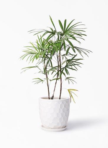 観葉植物 シュロチク(棕櫚竹) 8号 サンタクルストール 白 付き