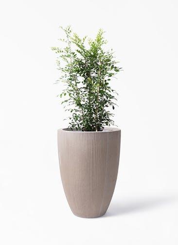 観葉植物 シルクジャスミン(げっきつ) 8号 リブラ モノ ブラウン 付き
