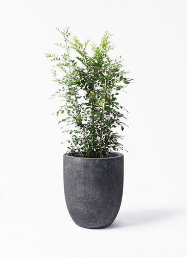 観葉植物 シルクジャスミン(げっきつ) 8号 フォリオアルトエッグ ブラックウォッシュ 付き