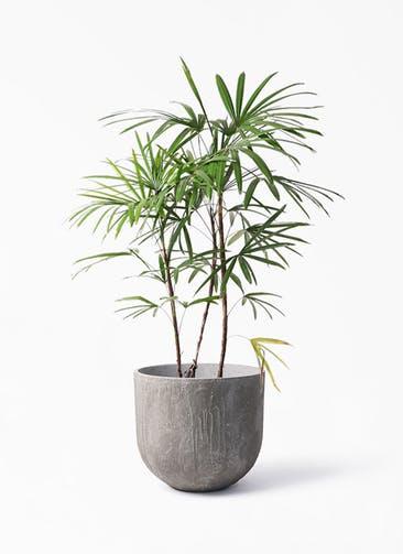 観葉植物 シュロチク(棕櫚竹) 8号 バル ユーポット アンティークセメント 付き