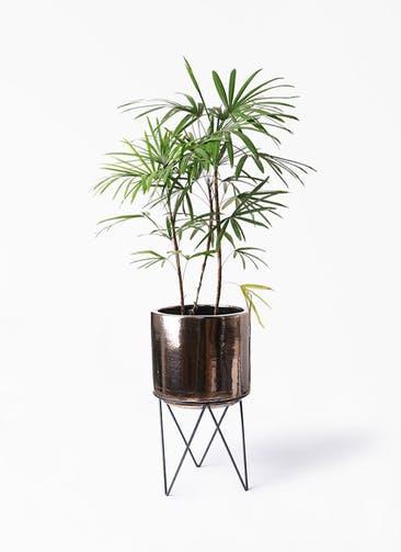 観葉植物 シュロチク(棕櫚竹) 8号 ビトロ エンデカ ゴールド アイアンポットスタンド ブラック  付き