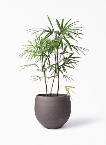 観葉植物 シュロチク(棕櫚竹) 8号 アディラボウル 濃茶 付き