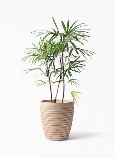 観葉植物 シュロチク(棕櫚竹) 8号 ウィスク 975 付き