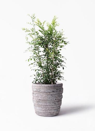 観葉植物 シルクジャスミン(げっきつ) 8号 凛(りん)ラージS  付き