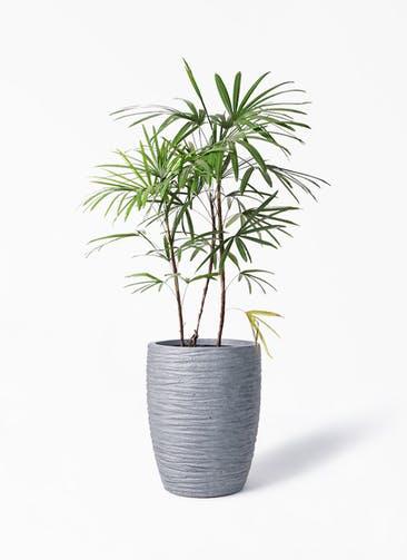 観葉植物 シュロチク(棕櫚竹) 8号 サン ミドル リッジ 灰  付き