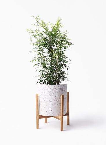 観葉植物 シルクジャスミン(げっきつ) 8号 ホルスト シリンダー スパークルホワイト ウッドポットスタンド 付き