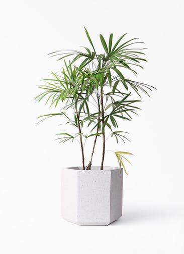 観葉植物 シュロチク(棕櫚竹) 8号 コーテス ヘックス ホワイトテラゾ 付き