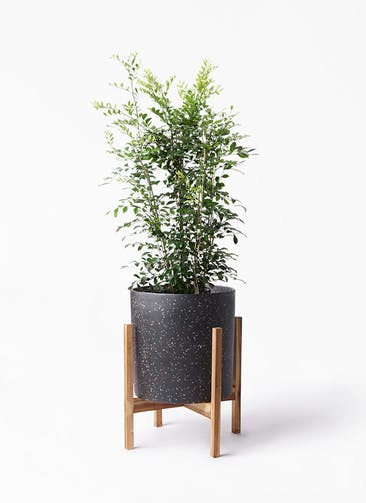 観葉植物 シルクジャスミン(げっきつ) 8号 ホルスト シリンダー スパークルブラック ウッドポットスタンド 付き