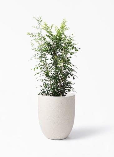 観葉植物 シルクジャスミン(げっきつ) 8号 フォリオアルトエッグ クリーム 付き