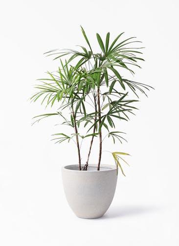 観葉植物 シュロチク(棕櫚竹) 8号 スタウト アッシュラウンド 付き