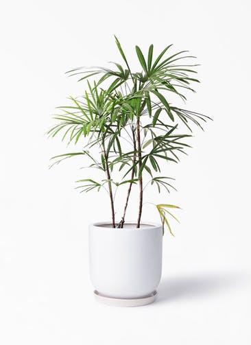 観葉植物 シュロチク(棕櫚竹) 8号 アファール 白 付き