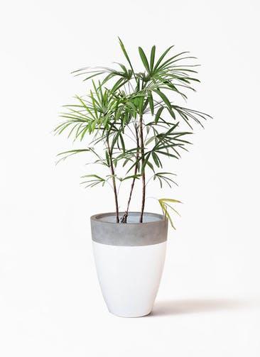 観葉植物 シュロチク(棕櫚竹) 8号 ファイバーストーン カプリ 白 付き
