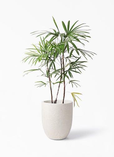 観葉植物 シュロチク(棕櫚竹) 8号 フォリオアルトエッグ クリーム 付き