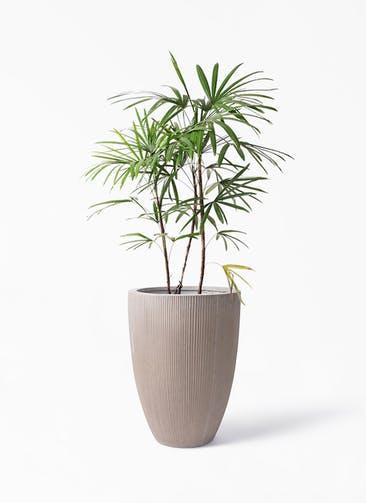 観葉植物 シュロチク(棕櫚竹) 8号 リブラ モノ ブラウン 付き