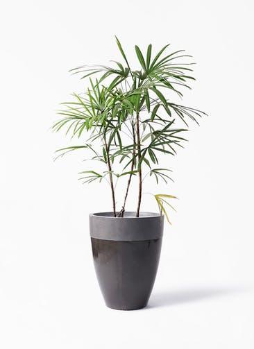 観葉植物 シュロチク(棕櫚竹) 8号 ファイバーストーン カプリ 黒 付き