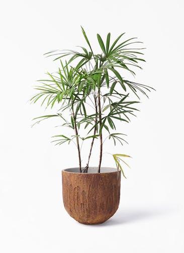 観葉植物 シュロチク(棕櫚竹) 8号 バル ユーポット ラスティ  付き