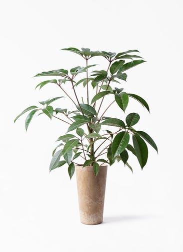 観葉植物 ツピダンサス 8号 ボサ造り アートストーン トールラウンド ベージュ 付き