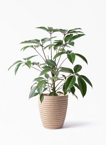 観葉植物 ツピダンサス 8号 ボサ造り ウィスク 975 付き