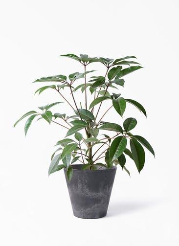 観葉植物 ツピダンサス 8号 ボサ造り アートストーン ラウンド ブラック 付き