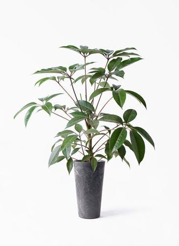 観葉植物 ツピダンサス 8号 ボサ造り アートストーン トールラウンド ブラック 付き