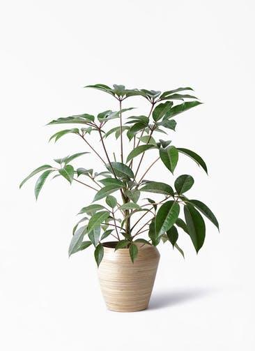 観葉植物 ツピダンサス 8号 ボサ造り アルマ ミドル 付き