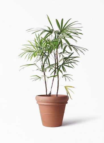 観葉植物 シュロチク(棕櫚竹) 8号 トスカーナ リムポット 付き