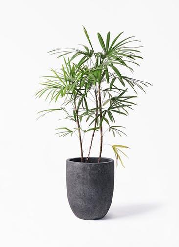 観葉植物 シュロチク(棕櫚竹) 8号 フォリオアルトエッグ ブラックウォッシュ 付き