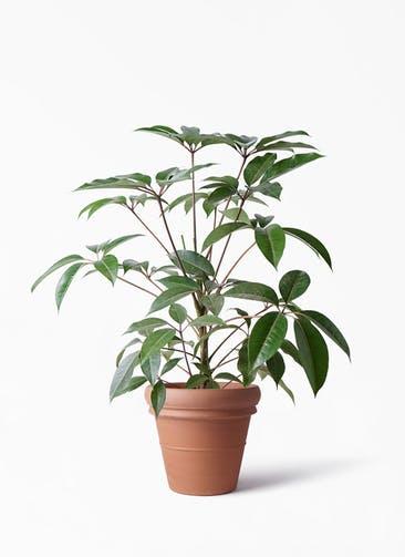 観葉植物 ツピダンサス 8号 ボサ造り トスカーナ リムポット 付き