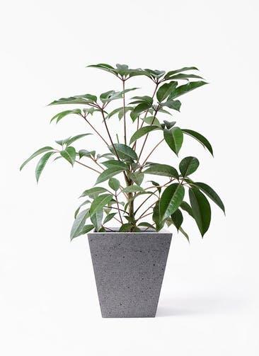 観葉植物 ツピダンサス 8号 ボサ造り スクエア ラテルストーン  付き