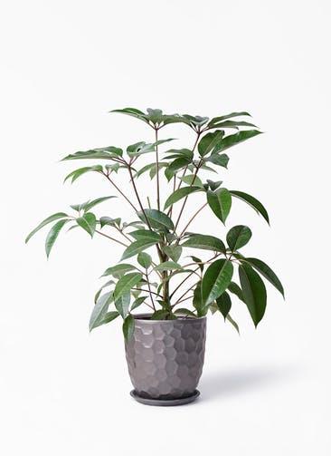 観葉植物 ツピダンサス 8号 ボサ造り サンタクルストール ブロンズ 付き