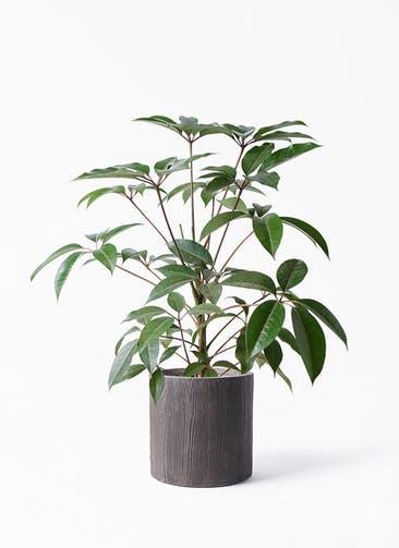 観葉植物 ツピダンサス 8号 ボサ造り アルファ シリンダープランター ウッド 付き
