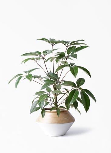 観葉植物 ツピダンサス 8号 ボサ造り アルマジャー 白 付き