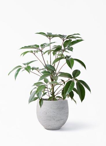 観葉植物 ツピダンサス 8号 ボサ造り アディラボウル グレイウォッシュ 付き