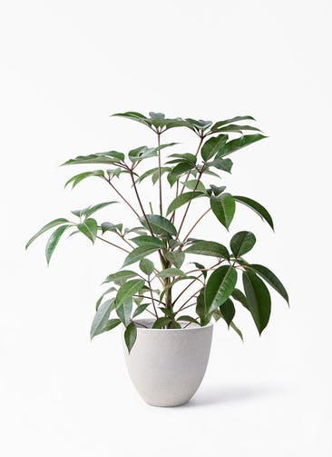 観葉植物 ツピダンサス 8号 ボサ造り スタウト アッシュラウンド 付き