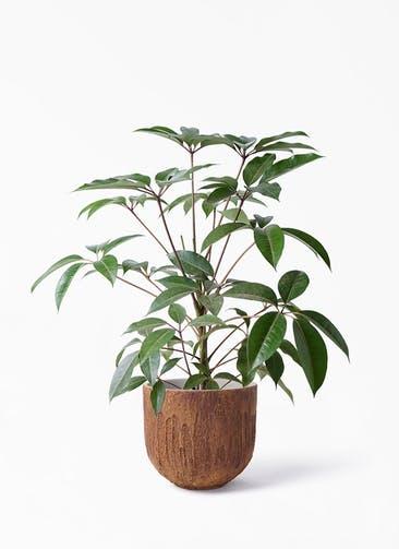 観葉植物 ツピダンサス 8号 ボサ造り バル ユーポット ラスティ  付き