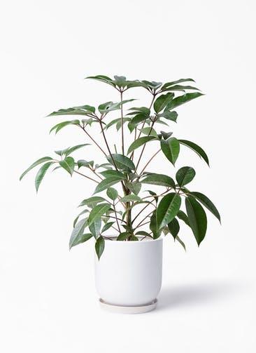 観葉植物 ツピダンサス 8号 ボサ造り アファール 白 付き
