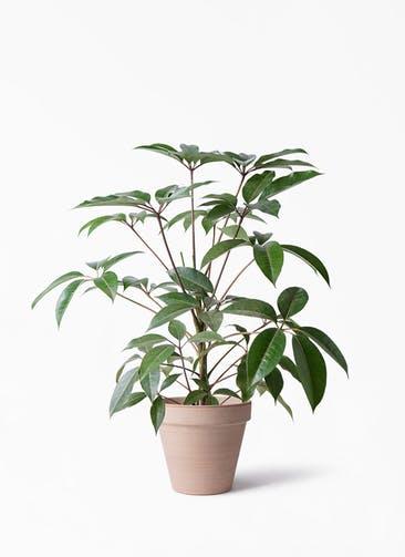 観葉植物 ツピダンサス 8号 ボサ造り スタンダルド アリーナ 付き
