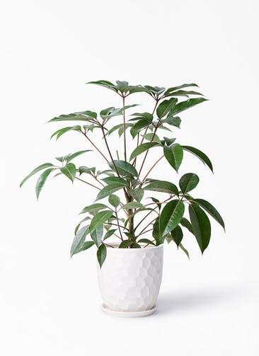 観葉植物 ツピダンサス 8号 ボサ造り サンタクルストール 白 付き
