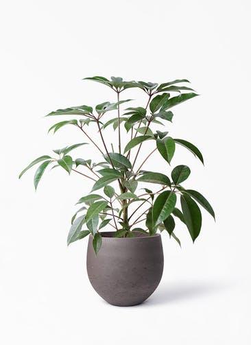 観葉植物 ツピダンサス 8号 ボサ造り アディラボウル 濃茶 付き