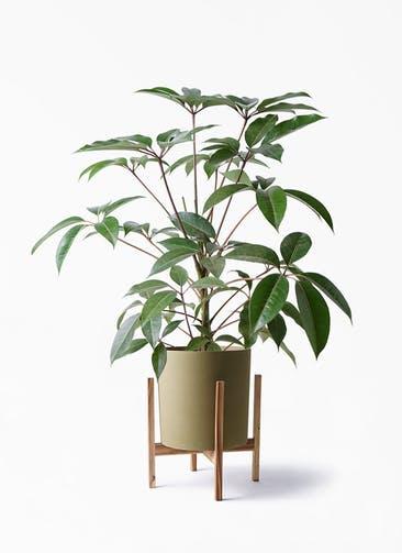 観葉植物 ツピダンサス 8号 ボサ造り ホルスト シリンダー オリーブ ウッドポットスタンド 付き