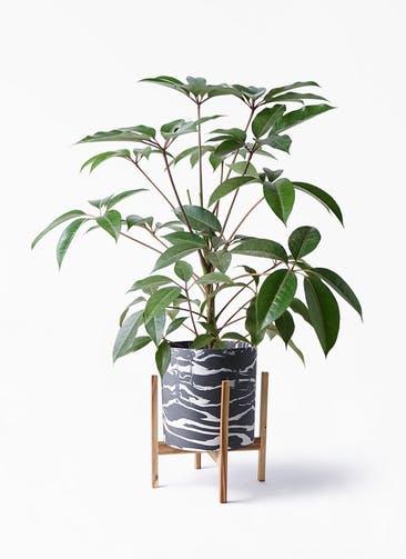 観葉植物 ツピダンサス 8号 ボサ造り ホルスト シリンダー マーブル ウッドポットスタンド 付き