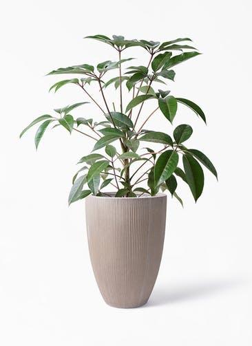 観葉植物 ツピダンサス 8号 ボサ造り リブラ モノ ブラウン 付き