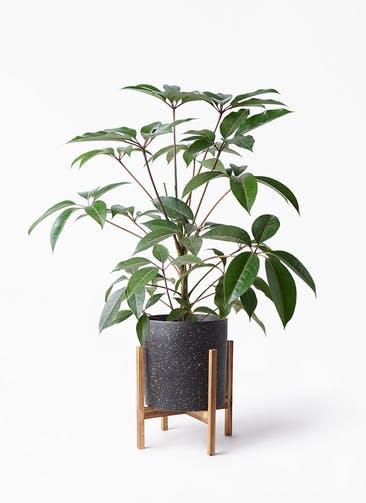 観葉植物 ツピダンサス 8号 ボサ造り ホルスト シリンダー スパークルブラック ウッドポットスタンド 付き