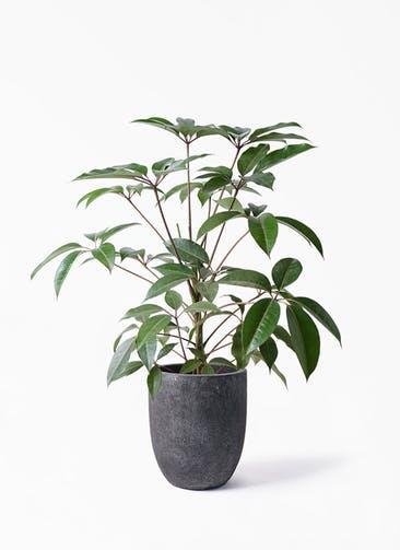 観葉植物 ツピダンサス 8号 ボサ造り フォリオアルトエッグ ブラックウォッシュ 付き