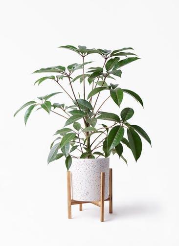観葉植物 ツピダンサス 8号 ボサ造り ホルスト シリンダー スパークルホワイト ウッドポットスタンド 付き