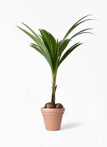 観葉植物 ココヤシ 10号 トスカーナ リムポット 付き