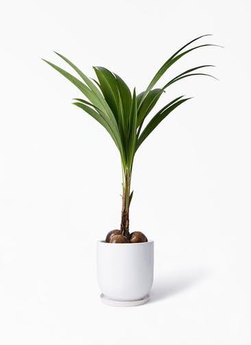 観葉植物 ココヤシ 10号 アファール 白 付き