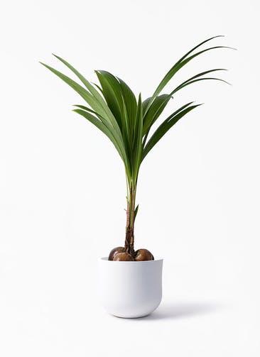 観葉植物 ココヤシ 10号 アユラニ ライレイ 付き